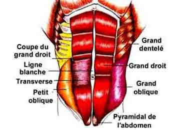 Anatomie des abdominaux