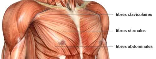 Anatomie des pectoraux